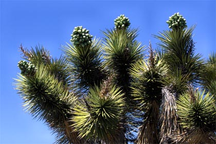 https://darekk.com/west/joshua-tree-2.jpg